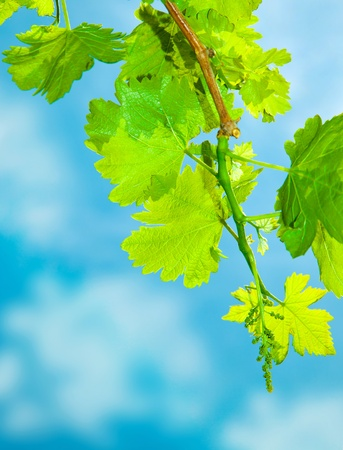 Close up on young grapevine leaves, growing at sunny garden, grape leaves border over natural blue sky, harvest concept  photo