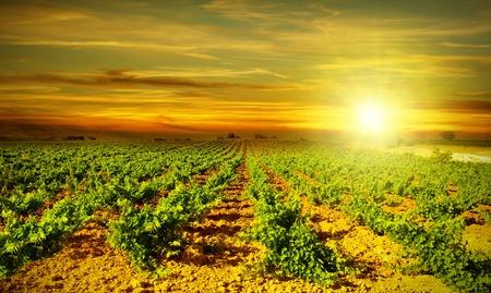 수확의 계절에 포도, 농업 산업의 계곡에서 포도 풍경, 밝은 일몰, 건강한 과일 필드에 성장