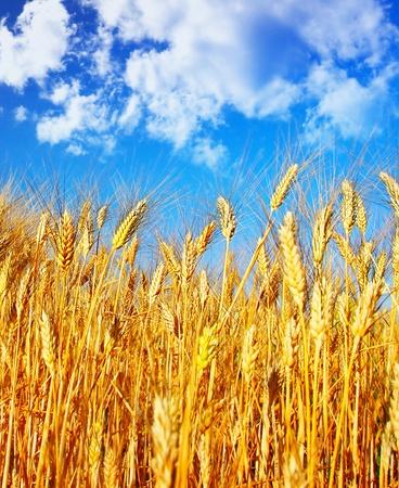 Wheat field landscape, closeup on rye over blue sky, nature at autumn season, harvest  photo