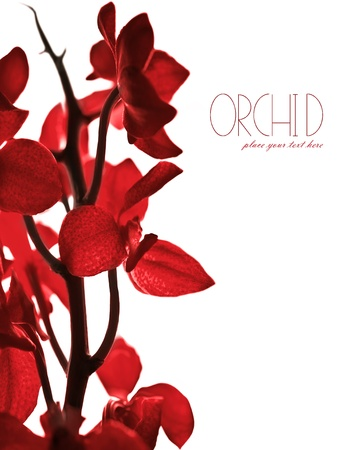 Red fresh orchid flower border isolated on white background, with text space photo