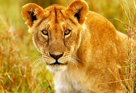 safari game drive: Bella selvaggio africano ritratto leonessa, Savanna, game drive, safari, gli animali in habitat naturale, la bellezza della natura, viaggi in Kenya, Masai Mara Archivio Fotografico