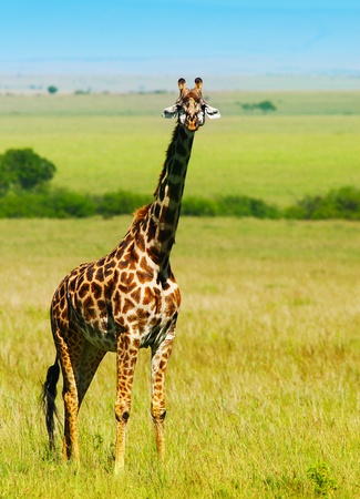 Big wild african giraffe, walking in Savanna, game drive, wildlife safari, animals in natural habitat, beauty of nature, Kenya travel, Masai Mara photo