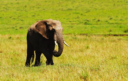 herbivore natural: Big african wild elephant, walking in Savanna, game drive, wildlife safari, animals in natural habitat, beauty of nature, Kenya travel, Masai Mara