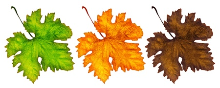 Three different autumn leaves isolated on white, beautiful nature,conceptual image of life cycle photo