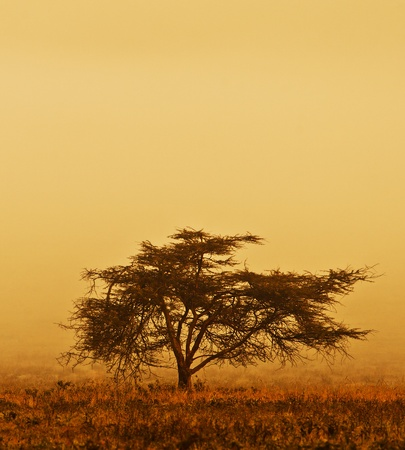a serene life: Lonely tree in the mist, nature autumn season, african landscape in the morning, sepia toned
