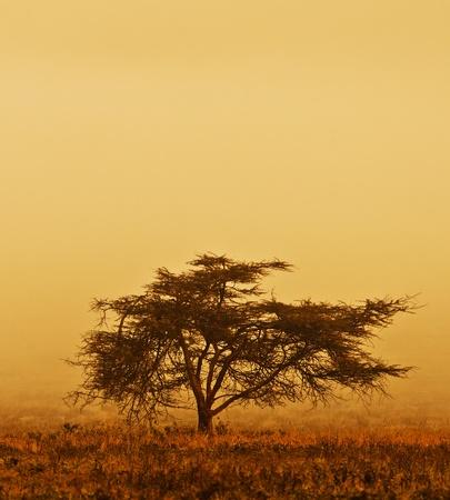 arbol de la vida: Árbol solitario en la niebla, naturaleza temporada de otoño, paisaje africano en la mañana, sepia en tonos