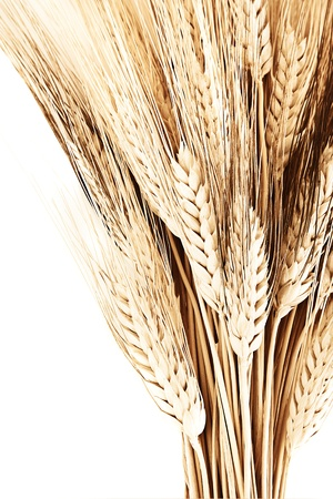 Wheat bouquet border, isolated on white background, closeup on autumn ripe plant, harvest concept photo
