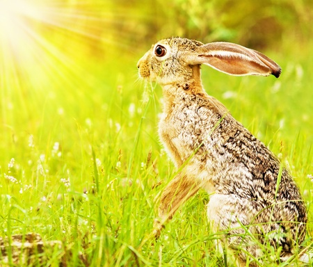 Wilde afrikanische Hasen, sitzen auf der Blumenwiese, Pirschfahrt, Safari, Tiere im natürlichen Lebensraum, Schönheit der Natur, Reisen Kenia, Masai Mara