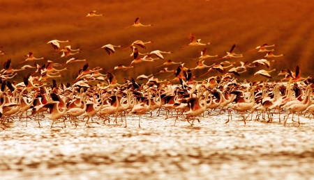 water birds: African flamingos on sunset, beautiful big birds flying, wildlife safari