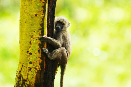 Wild African monkey portrait, animal hanging on the tree over natural green background, Kenya national park reserve, safari Stock Photo - 10993930