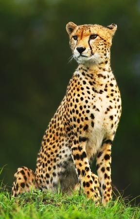 아프리카 야생 치타의 초상화, 아름다운 포유 동물, 멸종 위기에 처한 육식 동물, 아프리카. 케냐. 마사이 마라 스톡 콘텐츠