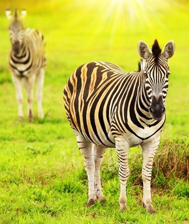 safari game drive: Zebre del continente africano, bellissimo ritratto animale selvatico, game drive safari, viaggi e del turismo Eco, la natura del Sud Africa, Kruger National Park, riserva di Sabi Sand