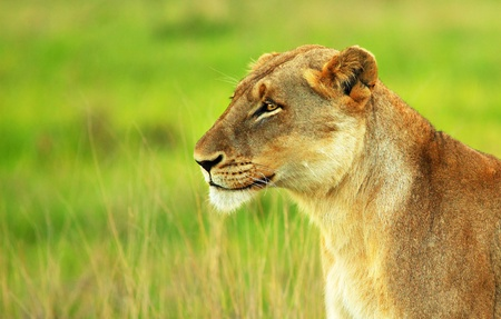 Beautiful wild African lioness portrait, game drive wildlife safari, animals in natural habitat, Eco travel and tourism, nature of South Africa, Kruger national park, Sabi Sand photo