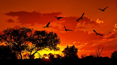 africa tree: Landscape of Africa with warm sunset, beautiful nature, dramatic red sky, silhouettes of big Ibis birds, wildlife safari, Eco travel and tourism, South Africa, Kruger national park, Sabi Sand