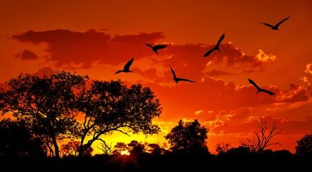 animales safari: Paisaje de �frica, con puesta de sol, naturaleza hermosa, espectacular cielo rojo, las siluetas de grandes aves Ibis, safari de la fauna, los viajes y el turismo ecol�gico, �frica del Sur, Parque Nacional Kruger, Sabi Sand
