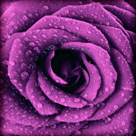 Purple dark rose background, abstract floral natural pattern, fresh flower with water drops, beautiful wet plant petals texture, nature details, holidays symbol of love photo