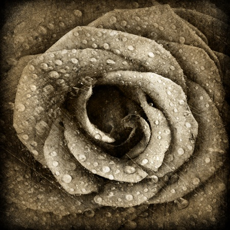 Sepia rose background, grunge abstract floral natural pattern, fresh flower with water drops, beautiful wet plant petals texture, nature details, holidays symbol of love photo