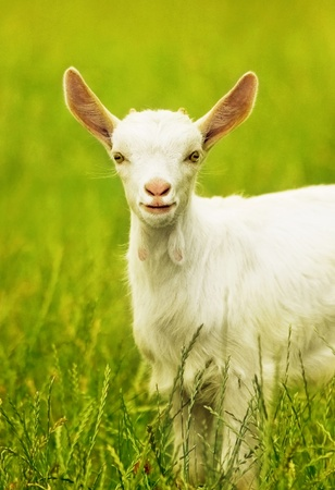 Cute goat portrait, young animal outdoor, grazing on the field, rural farming, livestock breeding photo