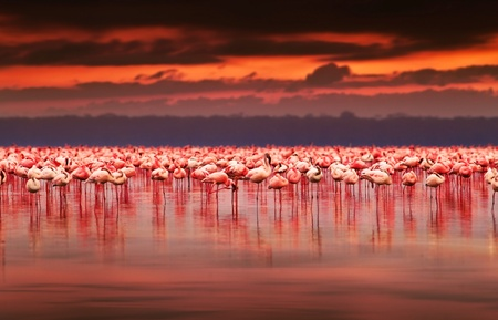 birds lake: African flamingos in the lake over beautiful sunset, flock of exotic birds at natural habitat, Africa landscape, Kenya nature, Lake Nakuru national park reserve