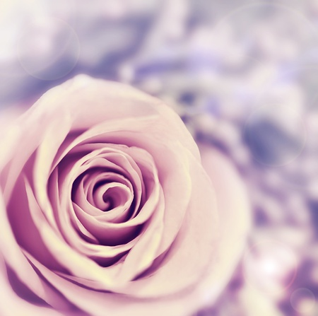 Dreamy rose abstract background, beautiful fresh violet flower, floral style image, closeup on nature, tender plant, shallow dof photo