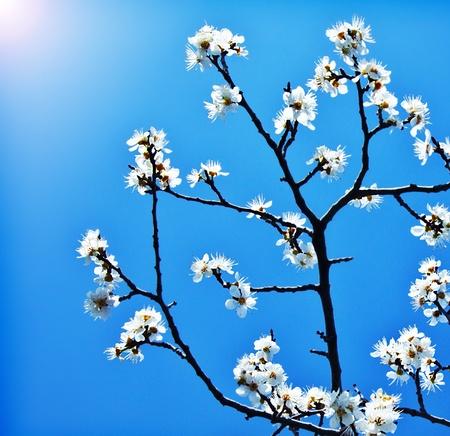 Blühender Baum Im Frühjahr, Frische Rosa Blumen Auf Dem Zweig Der ...
