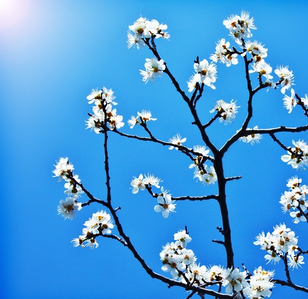 Blooming tree at spring, fresh white flowers on the branch of fruit tree over blue sky, plant blossom abstract floral background, seasonal nature beauty, springtime photo