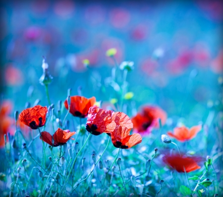 Poppy flower field at night with a dreamy blue cast and selective soft focus, natural background of wild summer nature photo