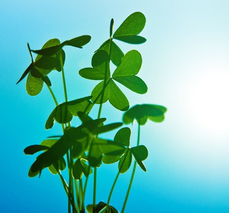 Clover at blue sky, green fresh shamrock plant, natural background, abstract floral image, spring nature photo