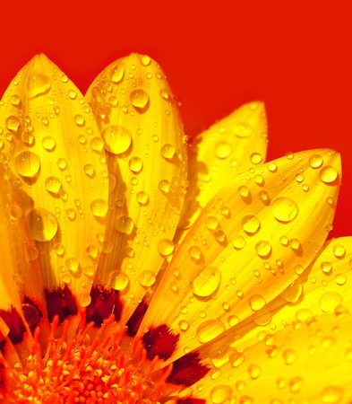 colorful flowers: Abstract beautiful flower, colorful floral background , wet yellow petals border, daisy plant over red , nature at spring, macro details