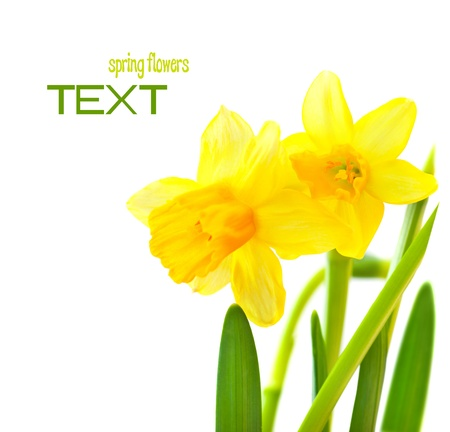 Spring floral border, beautiful fresh narcissus flowers, yellow plant isolated over white background, Easter decoration Stock Photo - 12589205