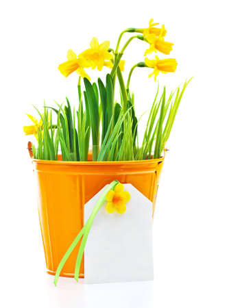 Pot of narcissus flower with blank greeting card, fresh spring plant, Easter and Mother's day gift, vase of yellow flowers isolated over white background, gardening and home decoration, springtime nature Stock Photo - 12589212