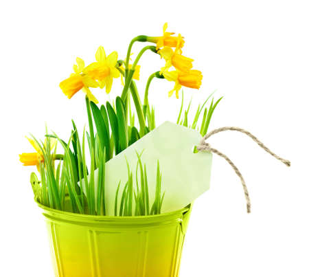 Pot of narcissus flower with blank greeting card, fresh spring plant, Easter and Mothers day gift, vase of yellow flowers isolated over white background, gardening and home decoration, springtime nature photo
