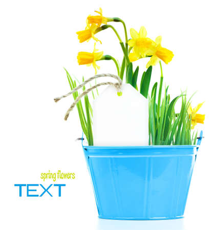 Pot of narcissus flower with blank greeting card, fresh spring plant, Easter and Mother's day gift, vase of yellow flowers isolated over white background, gardening and home decoration, springtime nature Stock Photo - 12589215