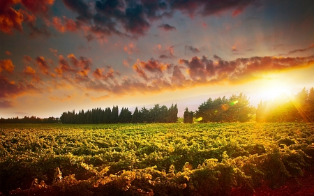grape field: Stunning sunset landscape of grape field Stock Photo