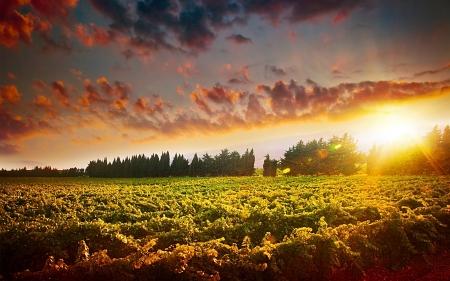 garden landscape: Stunning sunset landscape of grape field Stock Photo