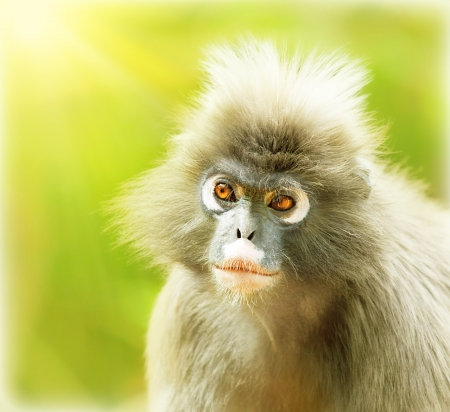 Dusky Leaf Monkey, close up portrait of a cute monkey face, animals environment, langur in wild nature, wildlife safari travel, Monkeyland, South Africa photo