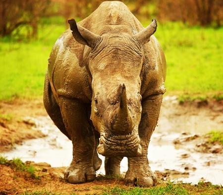Huge South African rhino after mud bath