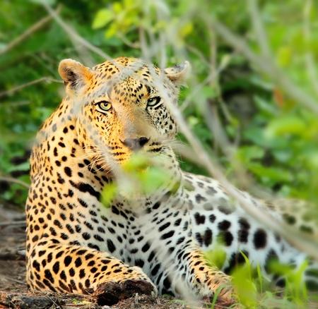 jaguar: Salvaje del leopardo descansando en los arbustos, hermoso animal en peligro de extinción Carnivor, juego de safari en coche, los viajes y el turismo ecológico, la naturaleza de África del Sur, Parque Nacional Kruger, Sabi Sand Foto de archivo