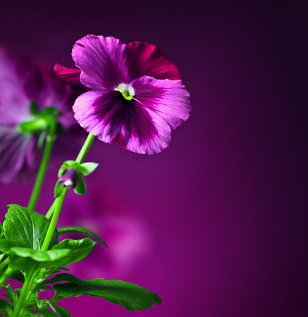 Purple pansy flowers border, floral decorative design made of fresh spring plant, over dark violet background, beautiful natural flower, romantic card photo