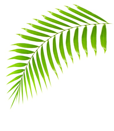 leaf close up: Fresh palm tree branch isolated over white background with text space, plant of tropical beach,  green leaves frond, floral decorative summer border