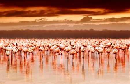 エキゾチックな鳥の自然の生息地、アフリカの風景、自然ケニア ナクル湖国立公園保護区の美しい日没、群れの上湖でアフリカのフラミンゴ 写真素材