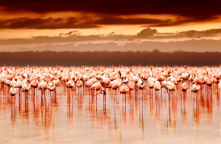 African flamingos in the lake over beautiful sunset, flock of exotic birds at natural habitat, Africa landscape, Kenya nature, Lake Nakuru national park reserve photo