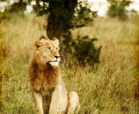 Young wild african lion. Africa. Kenya. Masai Mara photo