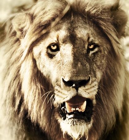 safari game drive: Lions testa, close-up leone viso ritratto, animale selvatico esterno, fotografia naturalistica africana, big five membro, game drive safari al Kruger National Park Reserve, la natura del Sud Africa