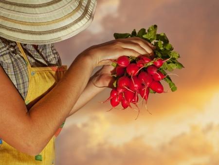 jardineros: Jardinero, vieja, dama de alto crecimiento org�nicos vegetales verdes y frutas, jard�n de verano, los jubilados ocio activo estilo de vida de trabajo al aire libre, de edad avanzada en el campo, campesina, de la cosecha en la puesta de sol