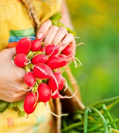 Close-up on ripe radish, woman gardener growing organic green vegetables, healthy eating concept, female holding food in hands, harvest season, farmer working in the field, shallow dof
