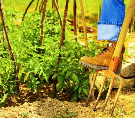 trabajando duro: Botas de jardiner�a, jardinero de m�s de rastrillo, el hombre de trabajo duro en el campo, la excavaci�n del suelo y el cultivo de hortalizas frescas, los alimentos org�nicos saludables, plantas de tomate, el cuidado de las tierras agr�colas, la temporada de cosecha Foto de archivo