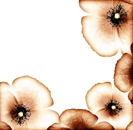Grunge poppy, floral natural brown border, dry wildflower card, abstract background, decorative bloom design, vintage old style picture, big beautiful flower head isolated on white, macro on petals photo