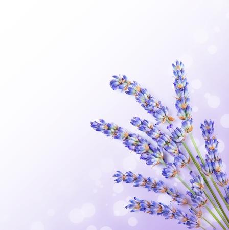fiori di lavanda: Fresco di lavanda fiori di frontiera, posy po 'di erbe aromatiche medicinali, piante fresche di fiori viola, aromaterapia spa, organico, ramo floreale isolato su sfondo bianco