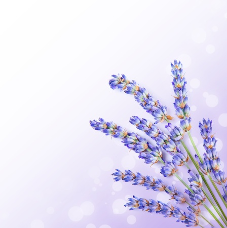 Fresh lavender flowers border, little posy of aromatic medicinal herb, fresh plant of purple flower, spa aromatherapy, organic floral branch isolated on white background photo